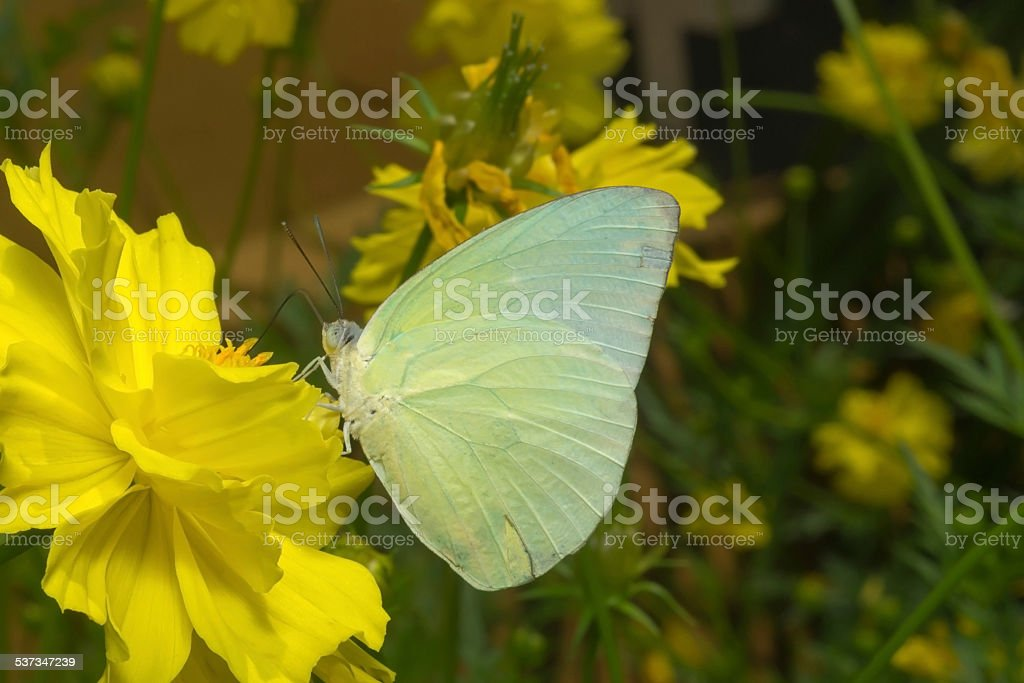 Butterfly (The Lemon Emigrant) stock photo
