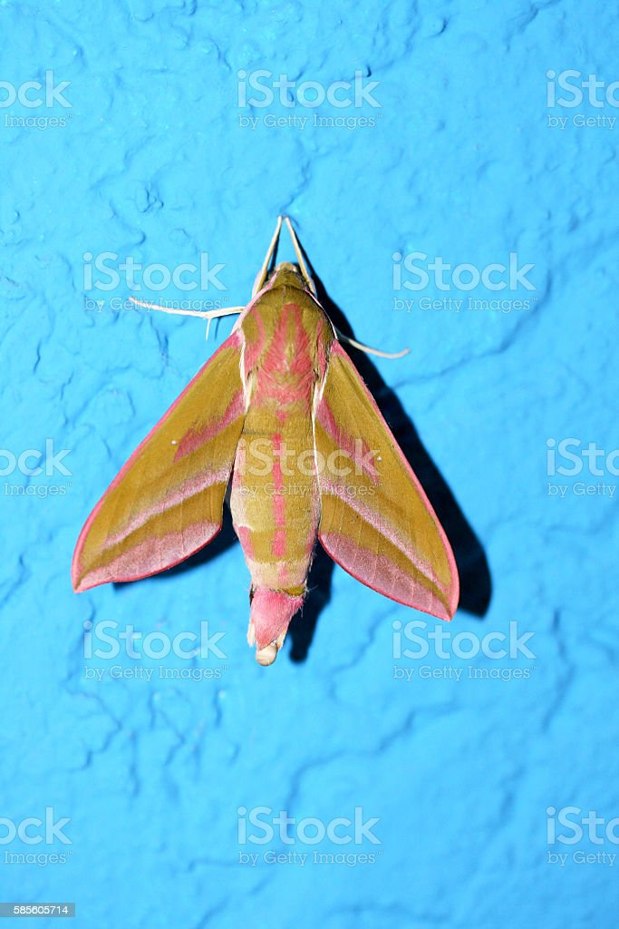 Butterfly  (Deilephila porcellus) stock photo