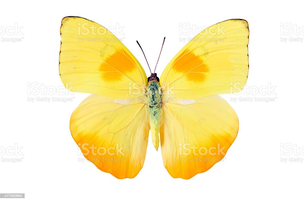 Butterfly Pieridae stock photo