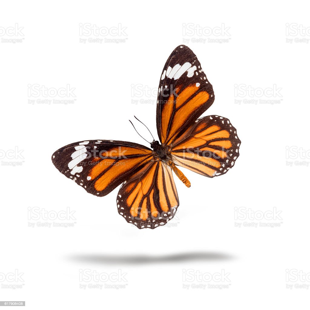 Butterfly, Plain Tiger stock photo