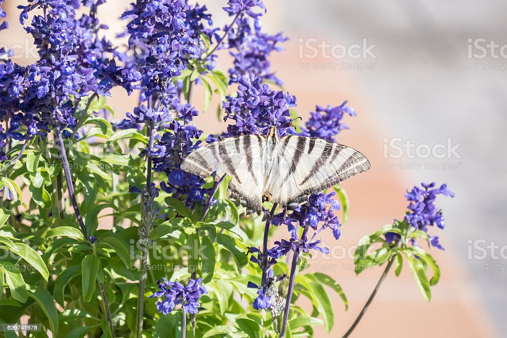 Butterfly pollinating flowers of a sage plant stock photo