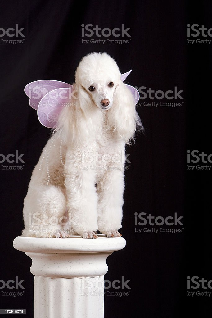 Butterfly Poodle on a Pedestal royalty-free stock photo