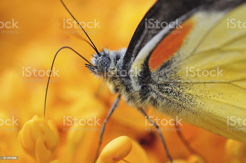 Butterfly Proboscis stock photo