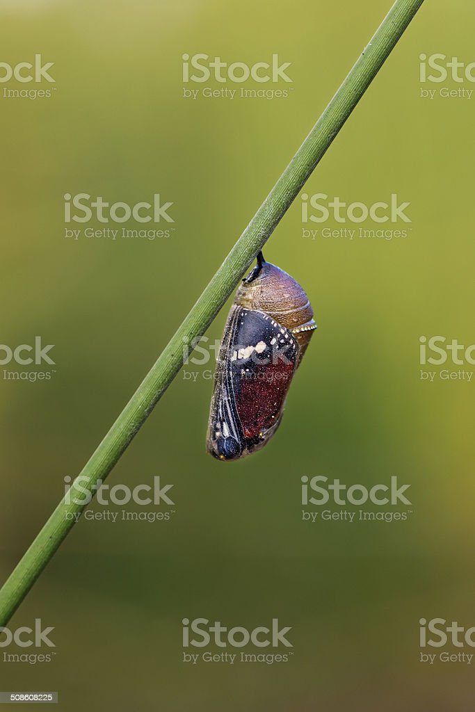 Butterfly Pupa stock photo