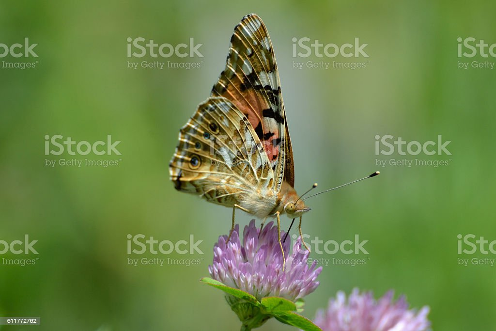 Piramid butterfly stock photo