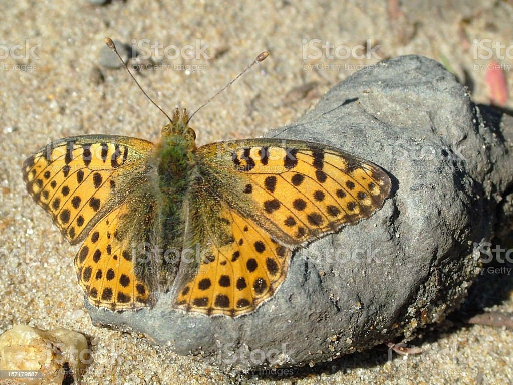 Butterfly Queen of Spain Fritillary stock photo