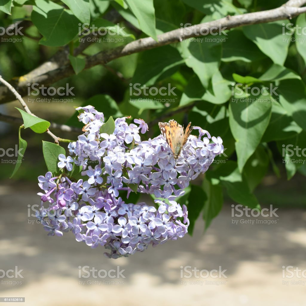 Butterfly rash on lilac colors. Butterfly urticaria. stock photo