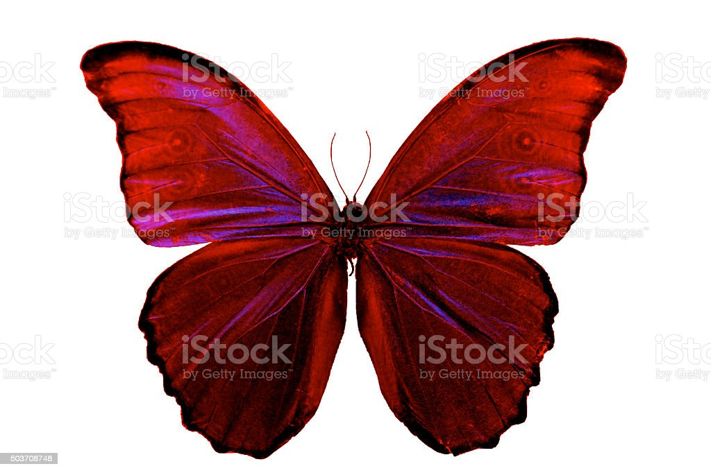 Butterfly red pink wings beautiful insect isolated on white background stock photo