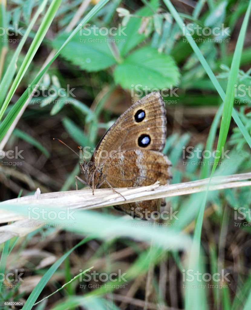Butterfly Satyridae, Siberian forest, Omsk region stock photo