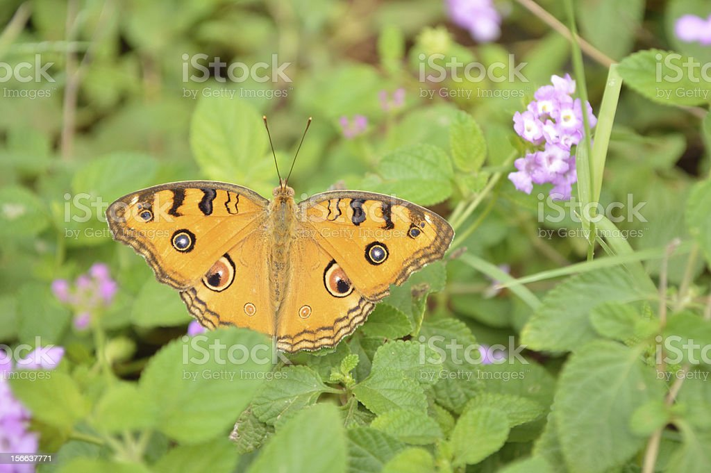 Butterfly Show off royalty-free stock photo