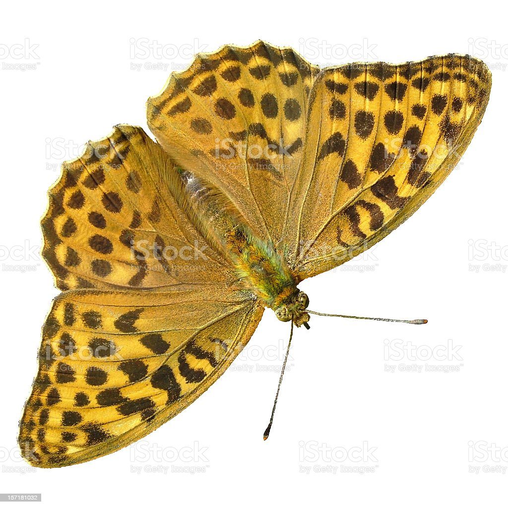 Butterfly Silver-washed Fritillary stock photo