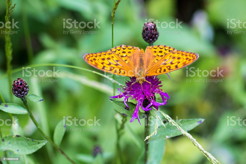 butterfly 'silver-washed fritillary' stock photo