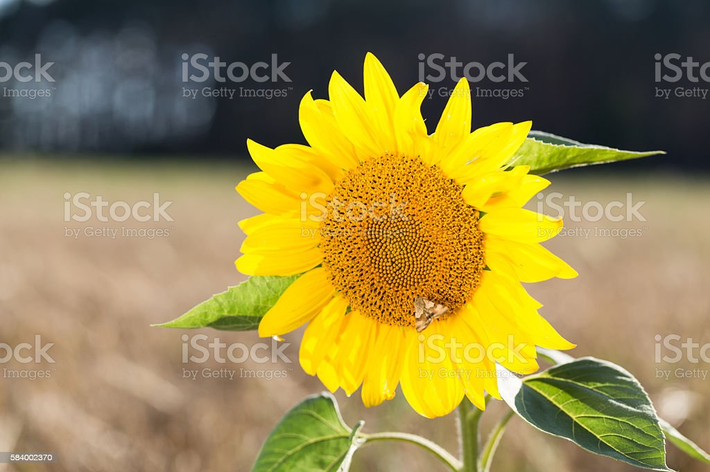 Butterfly sits on a sunflower. stock photo
