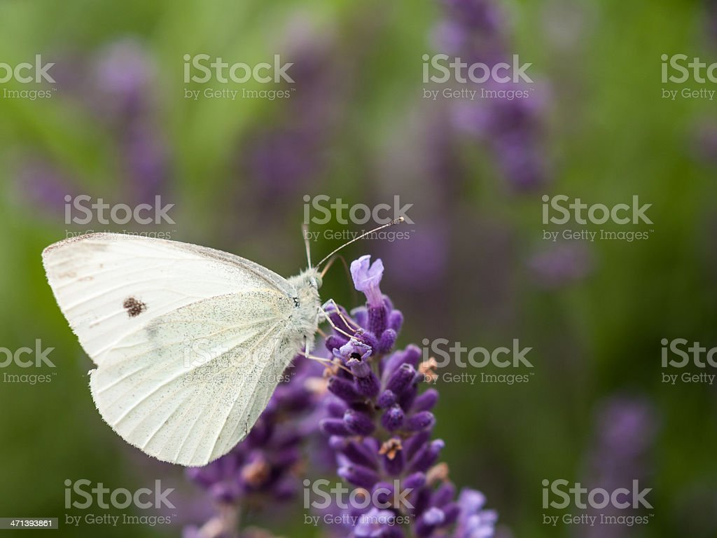 Butterfly (pieris) sits on flowering lavender (lavandula), with stock photo