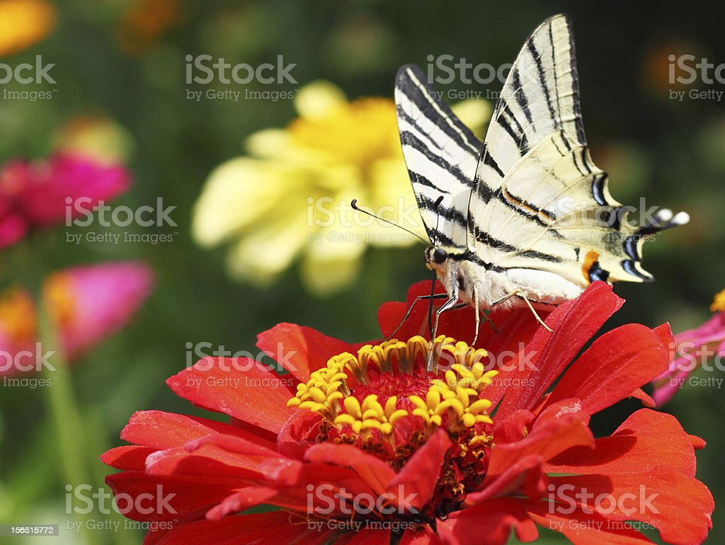 butterfly sitting on flower royalty-free stock photo