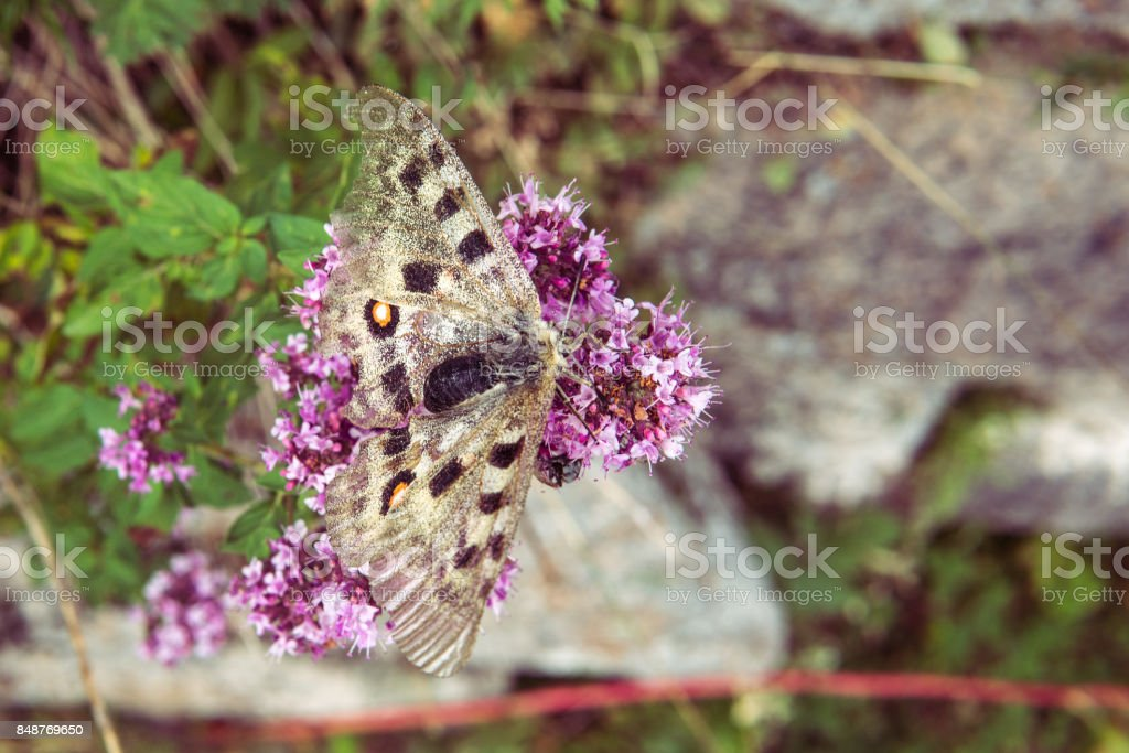 Butterfly sitting on the flowers of oregano, selective focus stock photo
