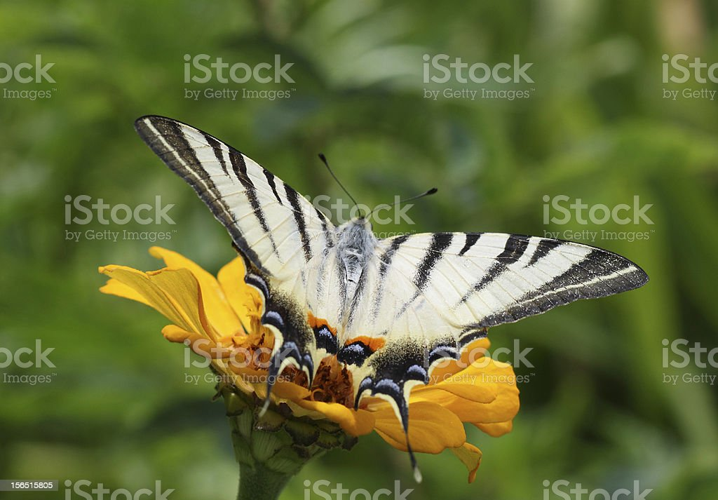butterfly sitting on zinnia royalty-free stock photo