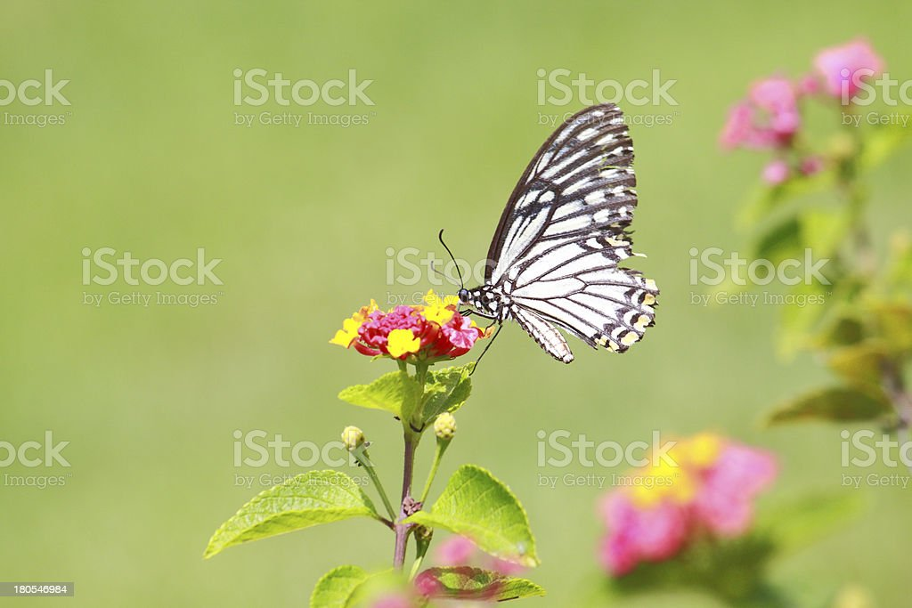 Butterfly smell flower royalty-free stock photo