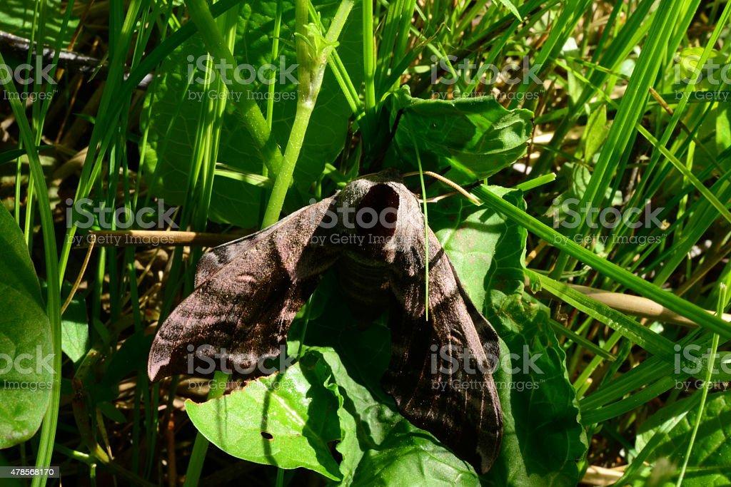 Butterfly smerinthus ocellatus folded wings stock photo