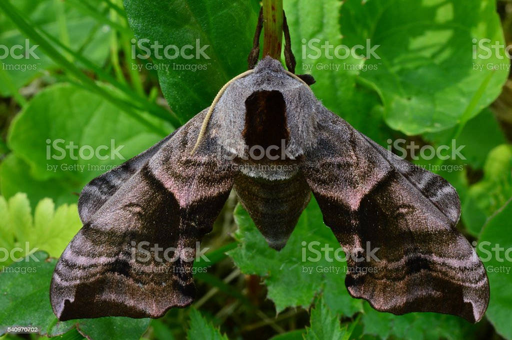 Butterfly smerinthus ocellatus morning in the shadow of the green vegetation stock photo