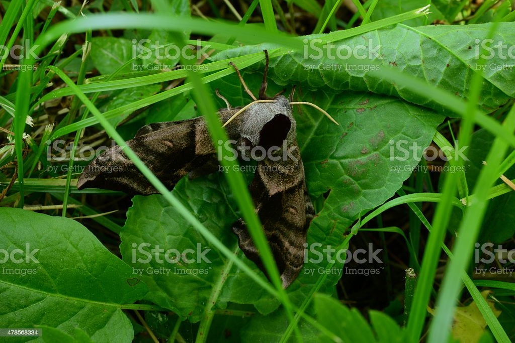Butterfly smerinthus ocellatus sitting in the grass stock photo