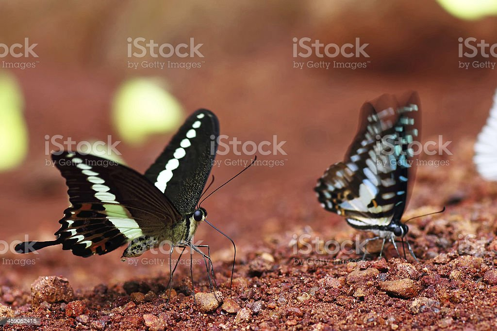 Butterfly soluble urea. royalty-free stock photo