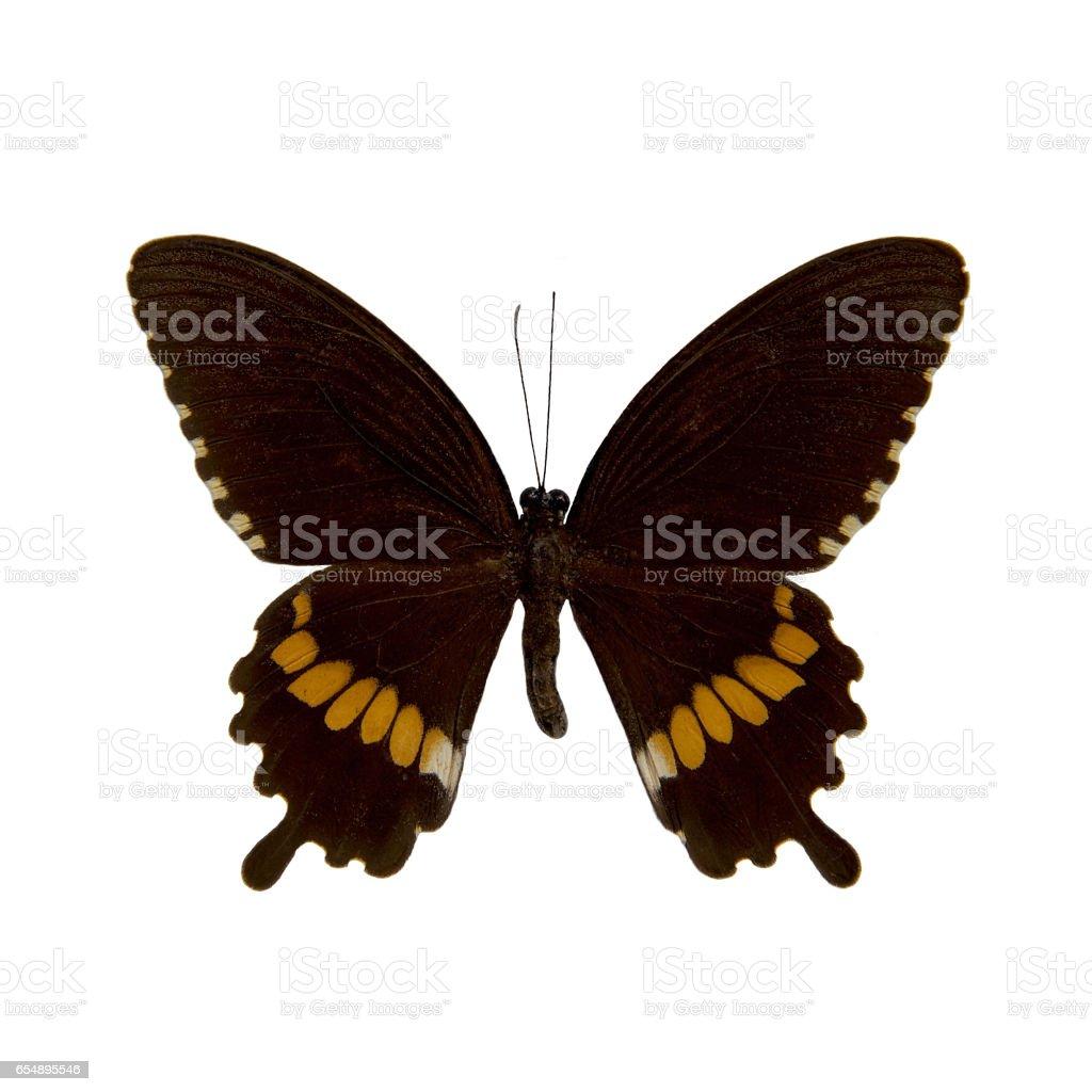 Butterfly stuffed : Common Mormon stock photo