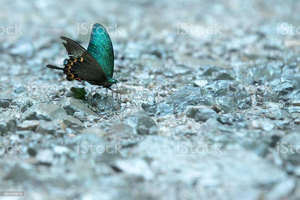 Butterfly sucking mineral water on the rocks royalty-free stock photo