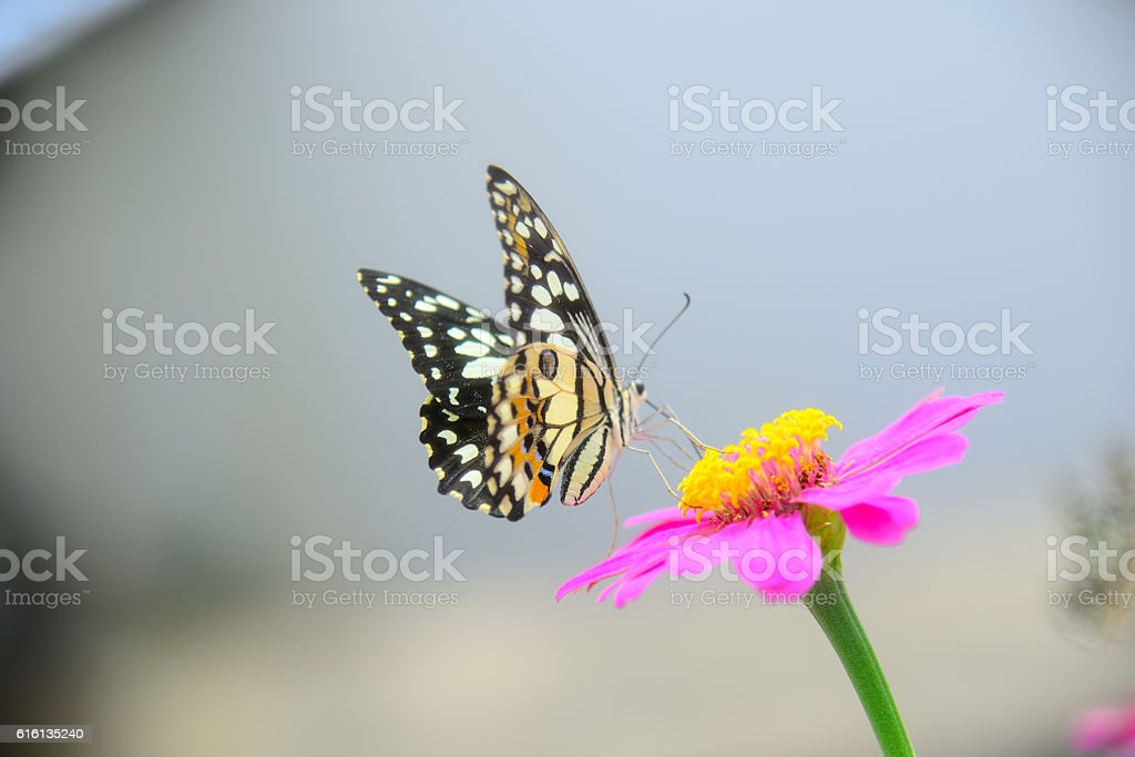 Butterfly sucking nectar from flowers. stock photo