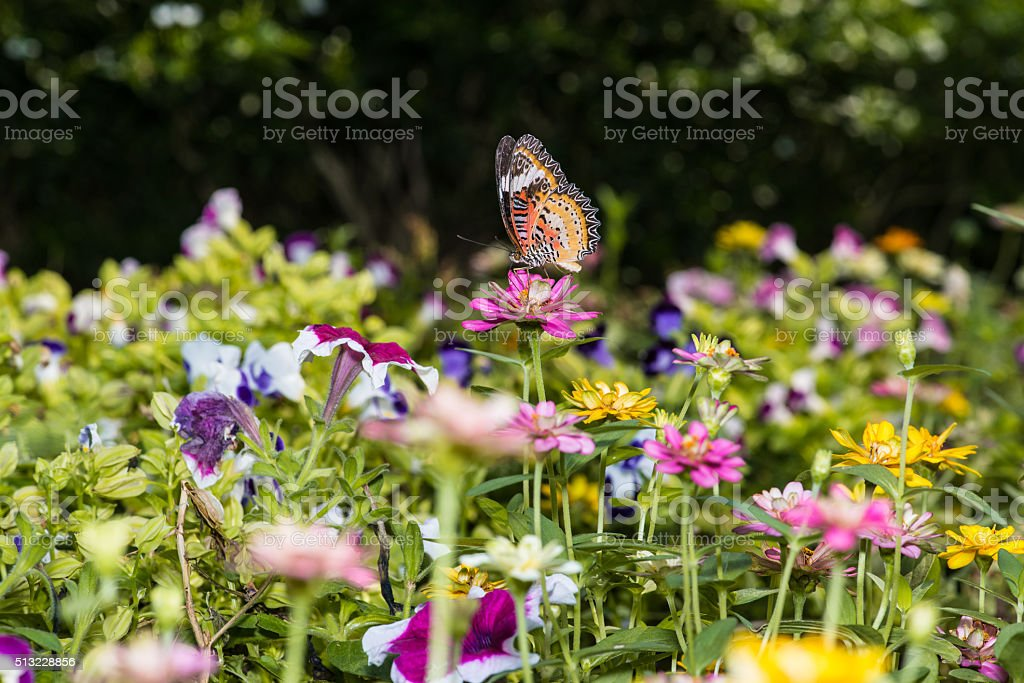 Butterfly sucking nectar from zinnia flowers. stock photo