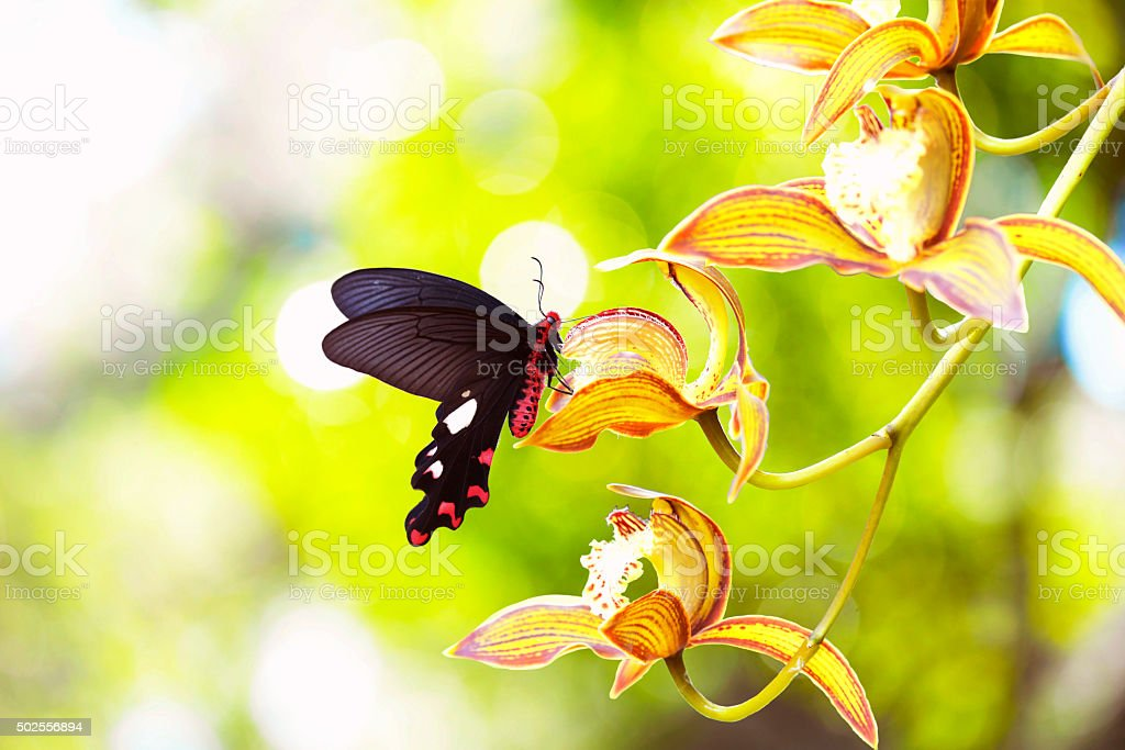 Butterfly sucking nectar on the orchid flower royalty-free stock photo