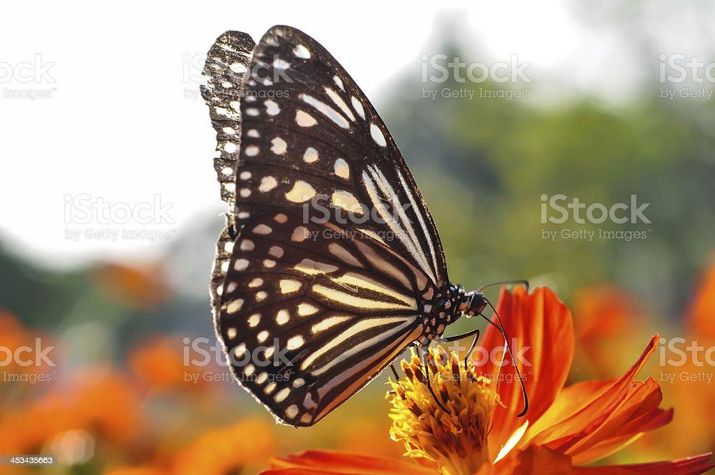 butterfly sucking nectar stock photo