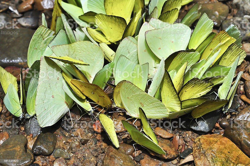 Butterfly Swarm. stock photo