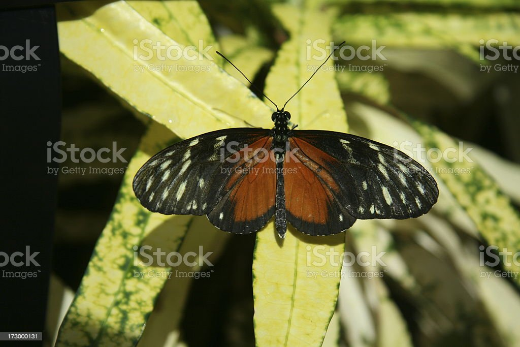 Butterfly - Tiger Longwing stock photo