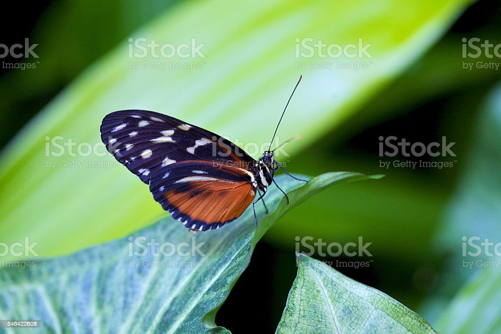 Butterfly, Tiger Longwing stock photo