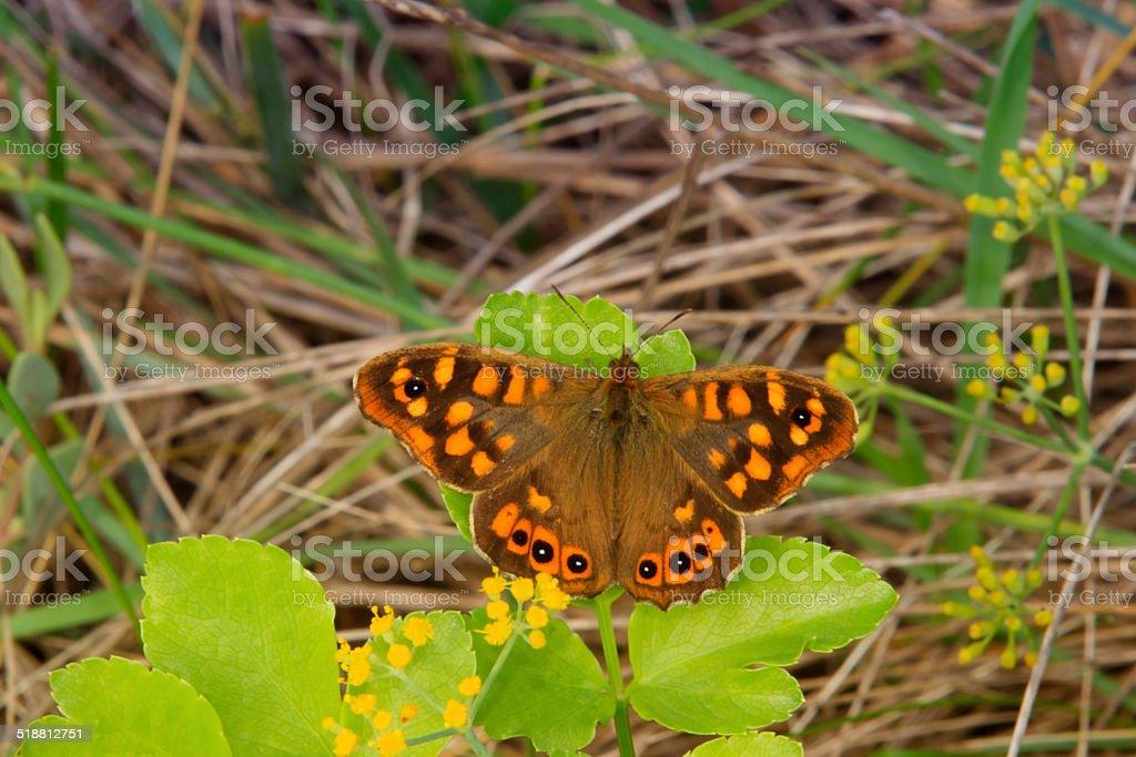 Papillon Tircis (Pararge aegeria) stock photo