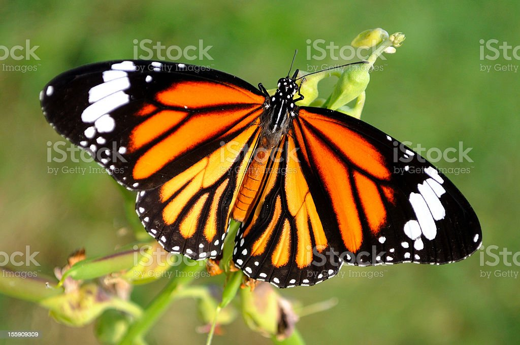 Butterfly top view royalty-free stock photo