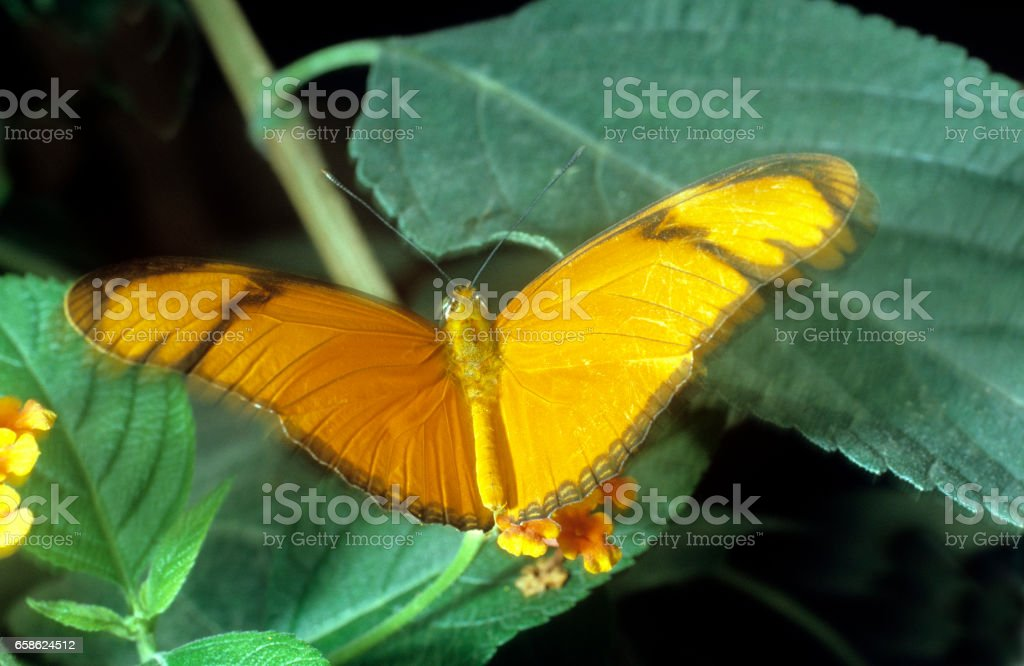 butterfly; torch; Dryas julia; torch; Neotropical stock photo