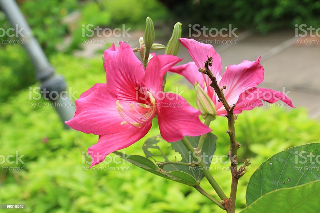 Butterfly Tree, Orchid Tree, Purple Bauhinia Flowers. royalty-free stock photo
