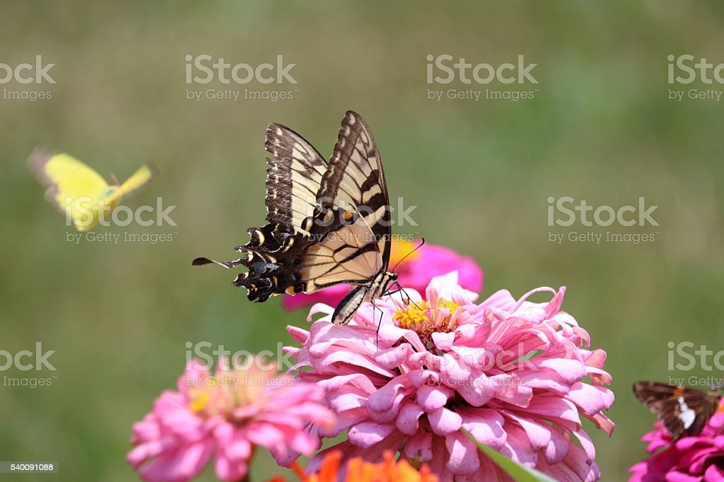 Butterfly Trio stock photo