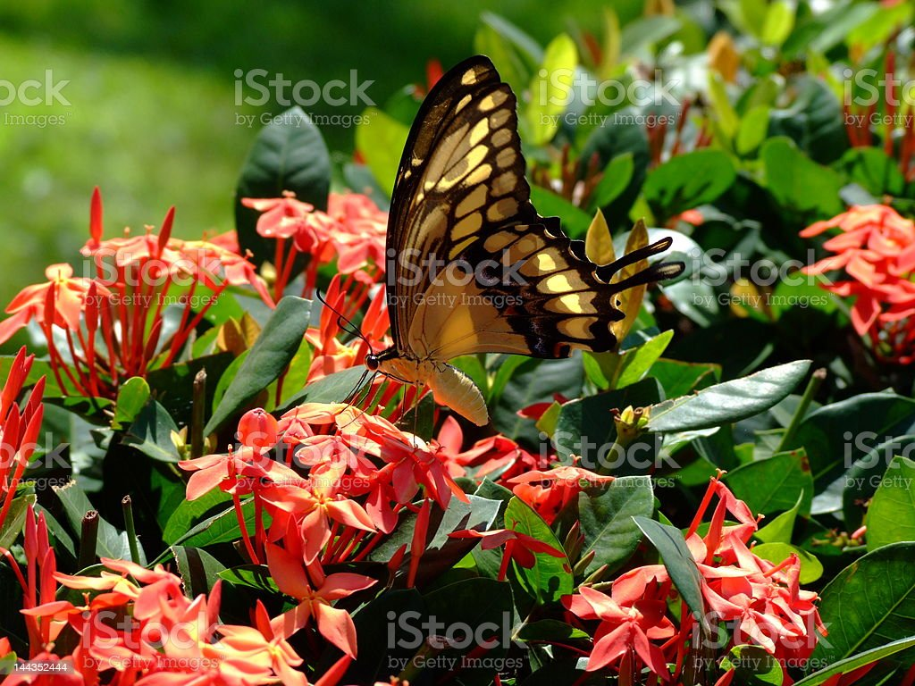 Butterfly (Thoas swallowtail) - two dimensional royalty-free stock photo