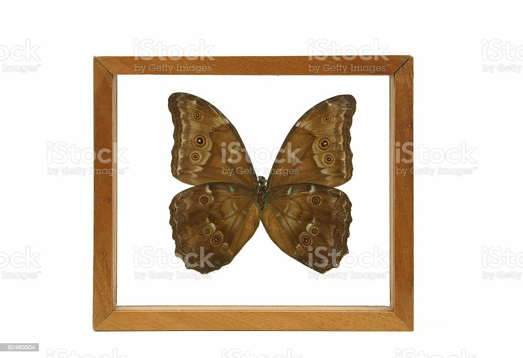 Butterfly Under Glass 1 royalty-free stock photo