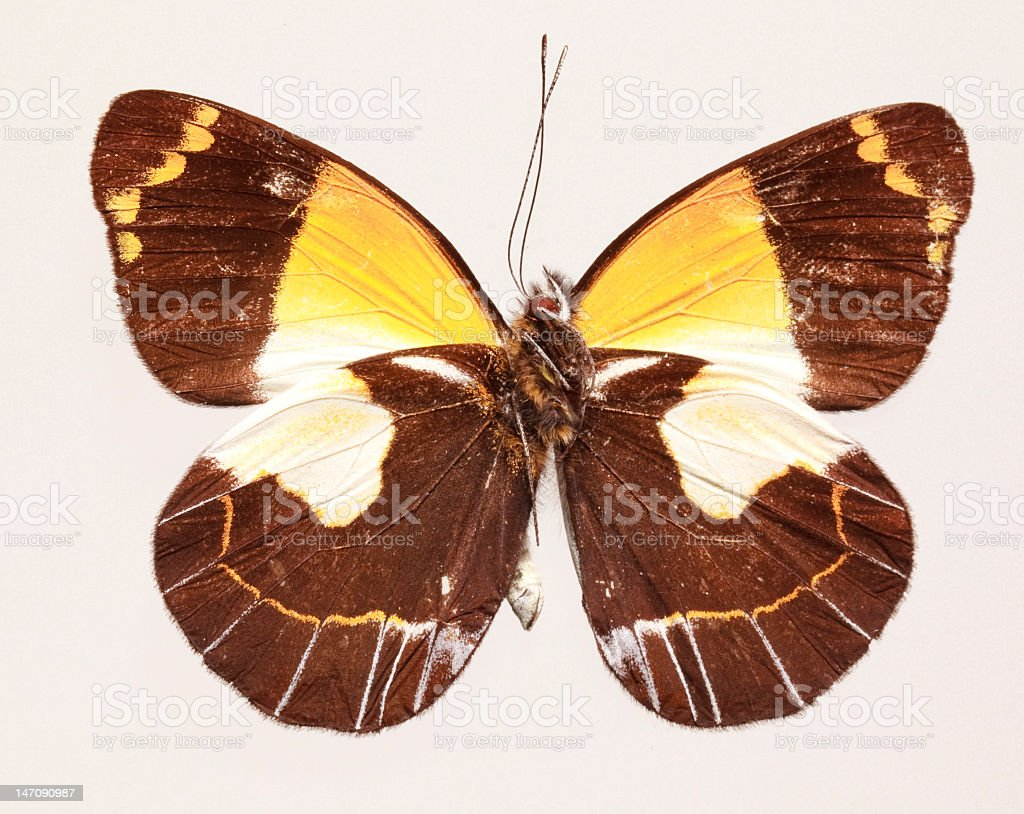 Butterfly (Delias meeki), underside royalty-free stock photo