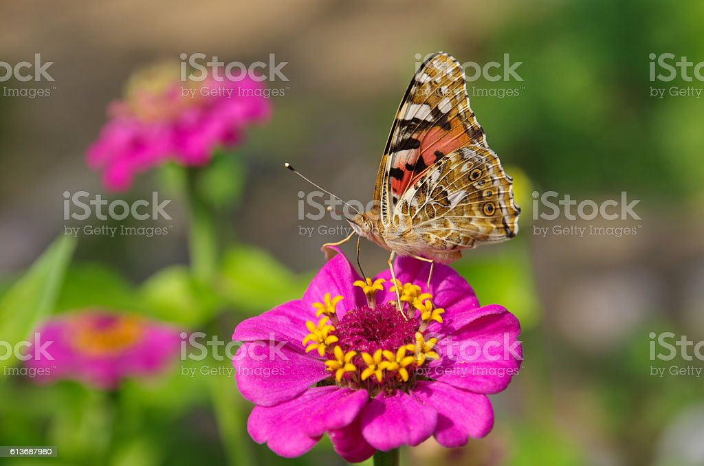 Butterfly Vanessa cardui on a zinnia flower stock photo