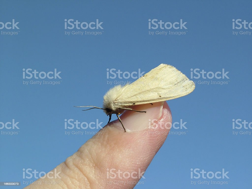 Butterfly Water Ermine royalty-free stock photo