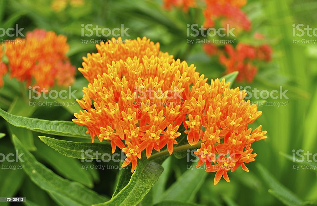 Butterfly Weed (Asclepias tuberosa) Milkweed Wildflower stock photo