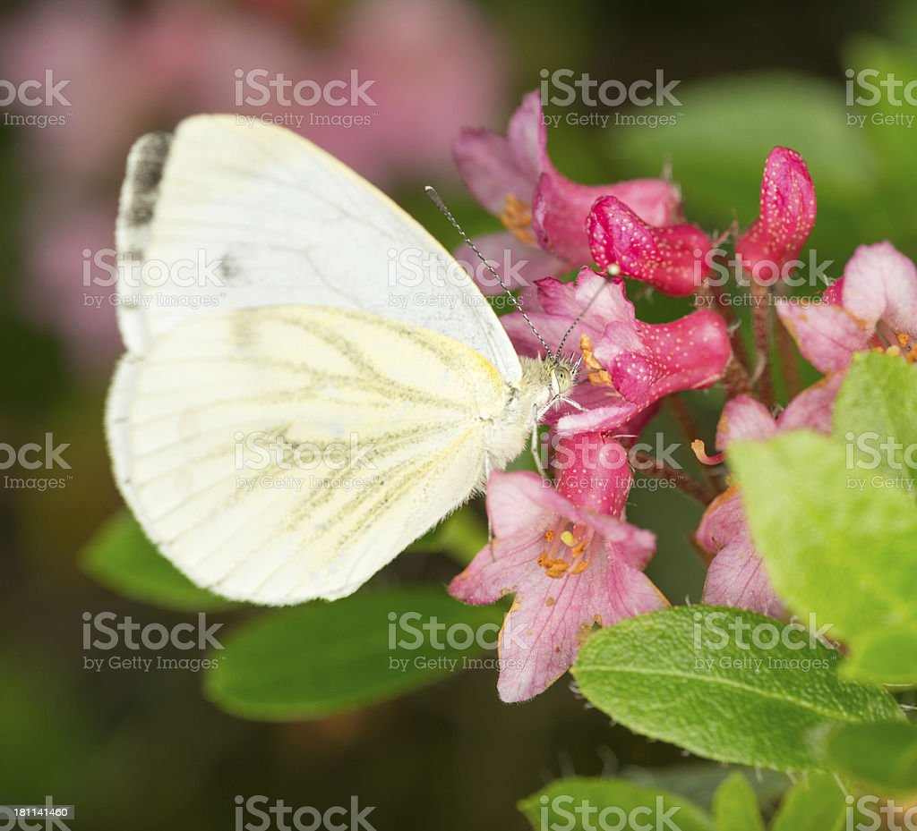 Butterfly with Alpenrose, Almrausch, Rhododendron Ferrugineum royalty-free stock photo