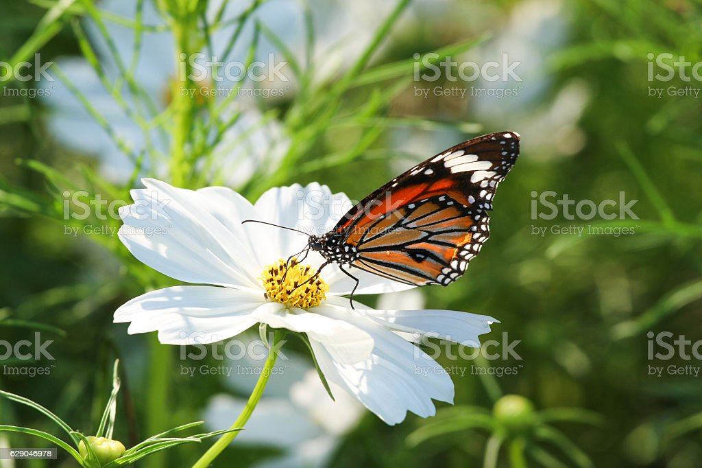 Butterfly with flower Cosmos. stock photo