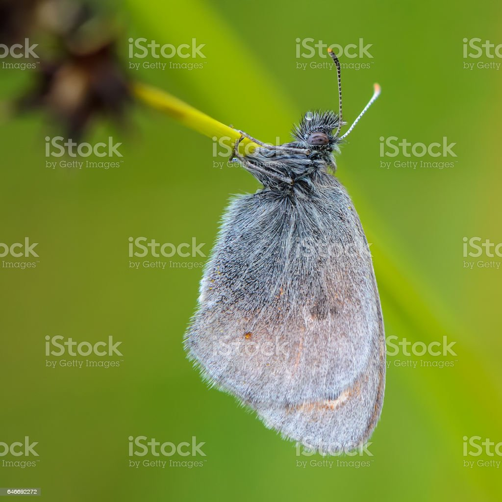 Butterfly with hairy wings stock photo