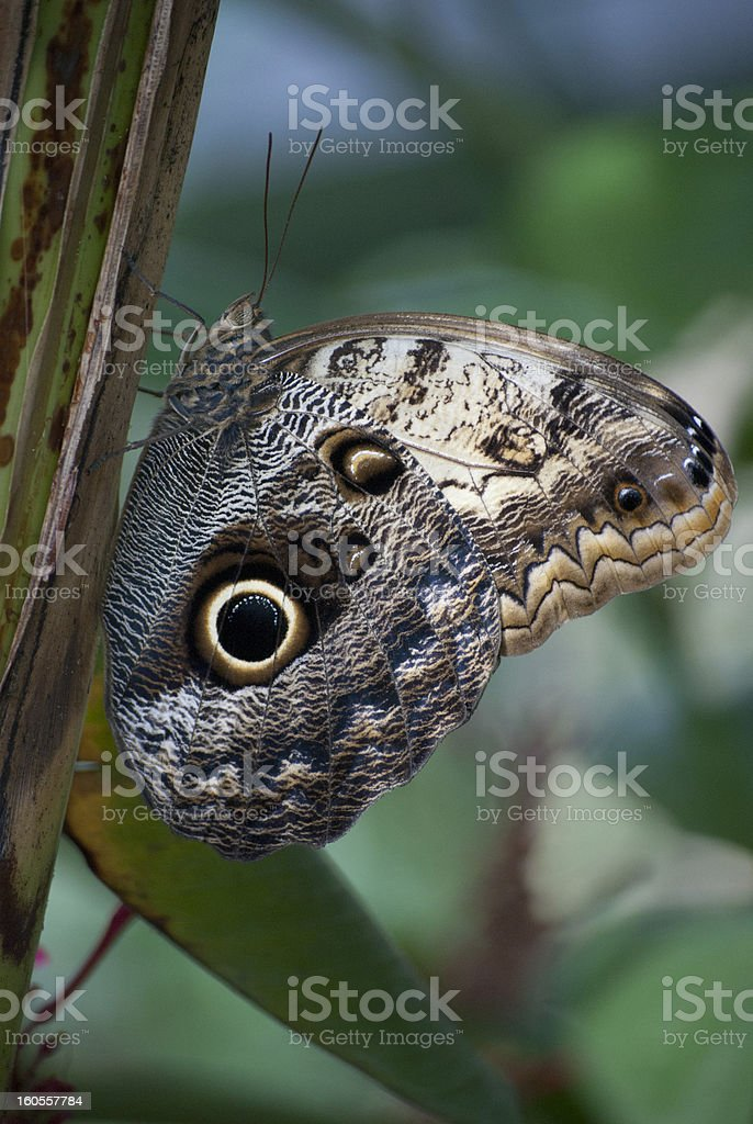 Butterfly with owl eyes royalty-free stock photo